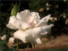 (Tölgyesi Kata) Tags: rose rosen rosa rózsa rózsakert rosegarden tuzsonjánosbotanikuskert botanikuskert botanicalgarden withcanonpowershota620 flower rosier blossom plant fleur virág nyíregyháza whiteflower