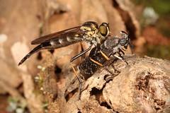 Fly vs Fly (John Horstman (itchydogimages, SINOBUG)) Tags: insect macro china yunnan itchydogimages sinobug entomology canon fly assassin asilidae diptera predator prey tabanidae 2 horse topf25