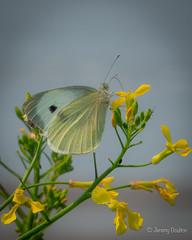 Yellowy (JKmedia) Tags: butterfly yellowy boultonphotography