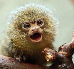 Pygmeemarmoset Artis JN6A0491 (j.a.kok) Tags: marmoset pygmeemarmoset oeistiti dwergoeistiti animal artis aap mammal monkey zoogdier dier primate primaat