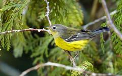 0P7A4083   Magnolia Warbler_ fall plumage (ashahmtl) Tags: magnoliawarbler songbird warbler dendroicamagnolia presquileprovincialpark ontario canada