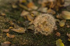 Dia 331 - Dandelion en el suelo (gedaesal) Tags: dandelion closeup sigma105mmf28macro colors nopeople canon700d