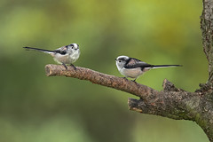 Long Tailed Tits (boogie1670) Tags: canon 5d mark iv sigma 150600mm sports long tailed tit woodland birds britishbirds ngc wildlifebritish