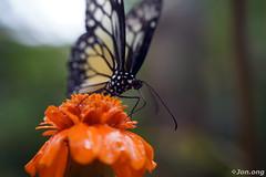 Yummy.. (Jon.Ong) Tags: sel2870 sonya7r macro butterfly
