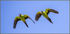 Ñanday (Totugj) Tags: ñanday aves argentinas birds uccelli cotorras pájaros nikon d7500 sigma 150600mm teleobjetivo reserva ecológica costanera sur buenos aires argentina