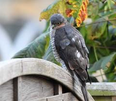 Sparrowhawk (Rodders60022) Tags: birds britishbirds britishwildlife birdsofpray wildlife sparrowhawk