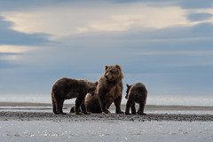 Brown Bear Family (www.studebakerstudio.com) Tags: bear brown brownbear family alaska studebaker animal nature wildlife