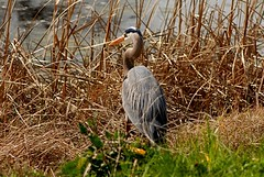 Ardea herodias (Great Blue Heron) (birdgal5) Tags: california placercounty lincoln ferrariranchpond aves ardeidae greatblueheron ardea ardeaherodias nikon d200 105mmf28gvrmicro