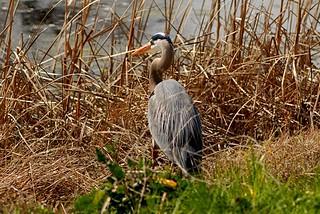 Ardea herodias (Great Blue Heron)