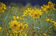 Yellow flowers in the breeze (Southern Darlin') Tags: flowers flower yellow meadow wild wildlife wildflowers nature naturephotography photography photo canon