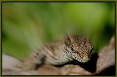 Unexpected confrontation ! Confrontation inattendue ! (Armelle85) Tags: extérieur nature animal reptile lézard macro tête
