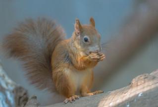 Sciurus vulgaris Squirrel