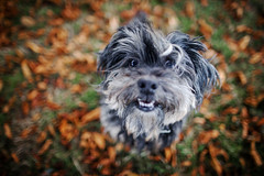 37/52 - It's beginning to look a lot like Autumn! (Kirstyxo) Tags: teddy cute dog sweet portrait autumn leaves 3852 52weeksfordogs 52weeksfordogs18 52weeksfordogs2018