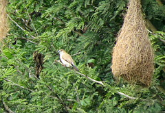 IMG_6156 (mohandep) Tags: hessarghatta lakes karnataka butterflies birding nature wildlife insects signs food