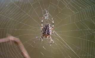 Gartenkreuzspinne (Araneus diadematus) in ihrem Netz