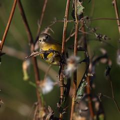 Warbler_07 (Scott_Knight) Tags: bird warbler canon scott knight minnesota