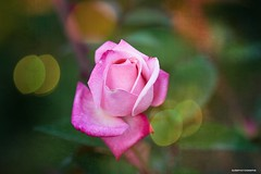 (JSB PHOTOGRAPHS) Tags: jsb8796 pinkrose on1photoraw nikon d3 owenmemorialrosegarden eugeneoregon