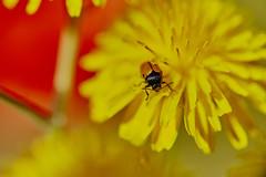 Laidybug's garden 2 / El jardín de la mariquita 2 (jdelaobra) Tags: canon6d canoneos6d jardíndelpríncipe aranjuez spain españa plantas jardín garden plant tokina100mmf28macro tokinaatxpro macrofotografía macro macrophotography red yellow rojo amarillo ladybug mariquita