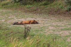 Fox the fox (H. Bos) Tags: awd amsterdamsewaterleidingduinen vos fox animal dier lui lazy