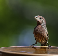 All The Water He Can Drink (Bill Gracey 20 Million Views) Tags: bird avianphotography lakeside water bokeh naturallight naturephotography naturalbeauty housefinch waterbowl