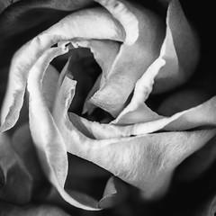 Folds (jameslf) Tags: berkshire flowers home macro reading tilehurst