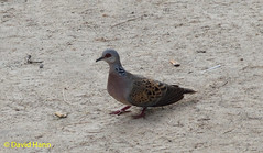 Son Bou   Turtle Dove (davidhann34016) Tags: sonbou minorca turtledove spain