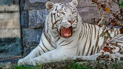 Tigre Blanc - 5911 (ΨᗩSᗰIᘉᗴ HᗴᘉS +22 000 000 thx) Tags: tiger tigre animal pairidaiza hensyasmine namur belgium europa aaa namuroise look photo friends be wow yasminehens interest intersting eu fr greatphotographers lanamuroise