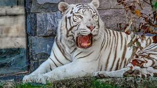 Tigre Blanc - 5911