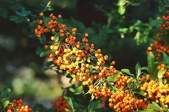Pyracantha ou buisson ardent (mamietherese1) Tags: coth coth5 world100f earthmarvels50earthfaves