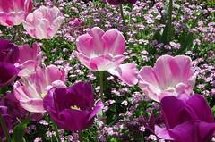 JLF14515 (jlfaurie) Tags: maintenon château castillo palace 22042018 jardin garden tulipes tulipanes tulips mechas gladys amigos friends michel magda sergio primavera printemps pentaxk5ii mpmdf jlfr jlfaurie spring flowers flores fleurs agua eau water canal intérieurs interiores inside