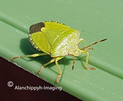 Sloe and Green Shield Bug (Alanchippyh) Tags: animal green black reddish white leaf yellowishgreen sunlight shadows macro sony77ii