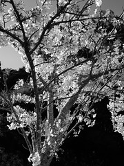 20180922_161341 (Cherry blossom spray) (jase_tv) Tags: trees