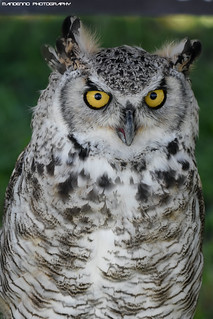 Canadian Eagle owl - Falconry Fair