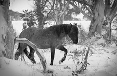 Brumby 18 small (iSPY Photography) Tags: brumbies wild horses australia nsw mountains snowymountains stallion mare filly colt ice gumtrees magestic kosciuskonationalpark