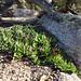 2016-09-27 Bicheno Lookout Rock 29 - Pigface succulent