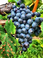 Grapes on the vine (CCphotoworks) Tags: wine nature plants purple grapevine grapes