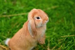 Il piccolo coniglio (maurizio.pretto) Tags: rabbit coniglio animali montagna mountains estate summer asiago plateau