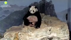 2018_09-10e (gkoo19681) Tags: tiantian dabigguy sohandsome proudpapa adorableears fuzzywuzzy posing feetsies scratching toocute beingadorable bigteddybear contentment comfy precious darling amazing cooldude ccncby nationalzoo