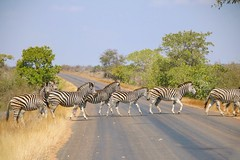 strisce in attraversamento - stripes crossing (immaginaitalia) Tags: satara kruger park parco national nazionale reserve riserva naturale natural safari free libero libertà natura nature colori colors colorato colorfull animali animals fauna africa african continente continet madre mother culla civiltà cradle winter inverno 2018 viaggio trip journey tourism turismo gruppo group zebre zebra strisce stripes mandria strada road crossing attraversamento