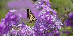 Having Wings (Synapped) Tags: butterfly swallowtail yellow insect flower purple fly flying flight