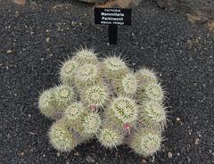 Mammillaria parkinsonii (alloe.) Tags: mammillaria