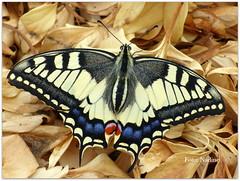 Catch of the day! (Nadine V.) Tags: papiliomachaon koninginnenpage oldworldswallowtail papilionidae commonyellowswallowtail swallowtail schmetterling papillon panasonic panasonicdmcfz200 fz200 lumix dmcfz200 insect inourgarden koninginnepage