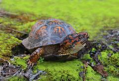 Eastern Box Turtle (ashockenberry) Tags: box turtle eastern reptile beautiful nature naturephotography natural wildlife wildlifephotography ashleyhockenberryphotography west virginia