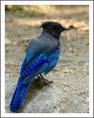 The Steller's Jay (juliemarie.stollery) Tags: jay animal bird wildlife nature stellers