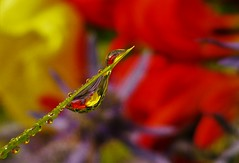 A drop of Multicolour..x (Lisa@Lethen) Tags: water droplets multicolour macro mm second choice flowers red yellow purple grass blade refraction