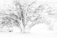 L'Albero della vita (elena.barsottelli) Tags: tree life lifetree bw blackandwhite meditation connessioni branches roots