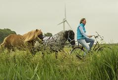 Pony Express (fotofrysk) Tags: ponies horses woman bike cyclist reeds kanaal channel vaart rondvaart nederlan nederland netherlands friesland fryslan sudwesthoeke zuidwesthoek southwestcorner sigma1750mmf28exdcoxhs nikond7100 201806026156