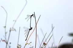Libellenpaarung (mux68-uh) Tags: zoo tierpark hellabrunn tierparkhellabrunn münchen munich libelle dragonfly paarung