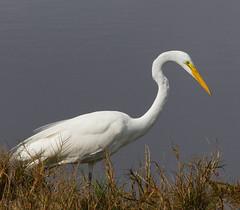beauty (Dianne M.) Tags: greategret nature outside marsh light white bird feeding merrittisland florida