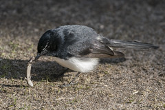 Not So Happy Meal (SteveKPhotography) Tags: sony stevekphotography a99ii ilca99m2 nature animal wildlife sal70400g2 avian bird lizard outdoors williewagtail rhipiduraleucophrys westernaustralia